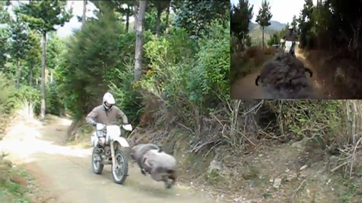 GoPro Strapped To Angry Ram Captures A Duel With A Motorcyclist