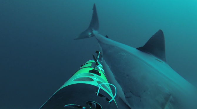 A Terrifying Image: Underwater Camera Gets Attacked By Great White Sharks